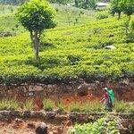Tea plantations near Castlereagh