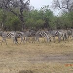 Zebras taken without a telephoto lens
