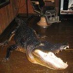L'ubiquitario alligatore delle Everglades