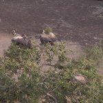 Vultures resting