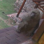 Baboon can I come in