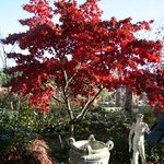 Acer Osakazuki planted in the borders at the top of the nursery looking fantastic in the su