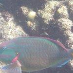 Stoplight Parrotfish at Buck Island