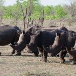 Group of Rhinos