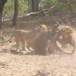 Lions attack a buffelo