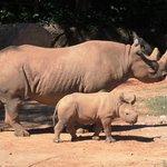 Critically endangered baby black rhino
