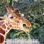 Feeding the giraffe
