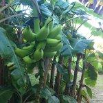 Banana's on property!