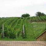 Виноградники за отелем