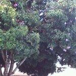 Árvore carregada de mangas
