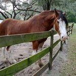 'Buddy' resident Clydesdale