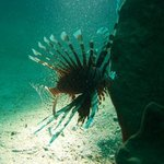 Lion fish Indonesia