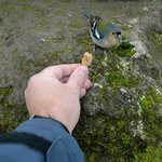 tame finches eat from hand-balcoas