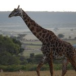 Tower of Giraffes right behind Maasai Mara Basecamp