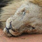 beat-up Lion
