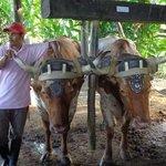 les boeufs du trapiche Costa et Rica