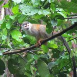 Squirrel Monkey. We saw a pack of 50-60 of them!