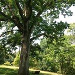 Majestic Oak Tree