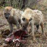 Hungry spotted hyaena