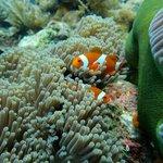 Clown fish in Tulamben