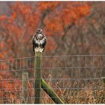Buzzard on the fence
