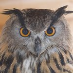Hoo-Hoo our very popular Eagle-Owl.