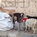 Goats foraging near market