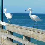 Small Herons at the Pier