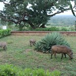 Warthogs grazing on the hotel lawn