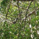 Calocita formosa una preciosa ave de la región