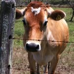 Beautiful gentle shy cow.