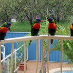 Lorikeets on our balcony