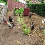 as galinhas