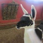 Baby llama in the petting/feeding area