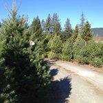 Christmas Tree Forrest. Over 10 varieties