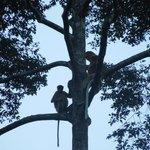 Proboscis monkeys in the wild