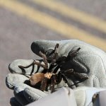 Brown Tarantula we found on the road
