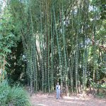 Stand of bamboo at entrance