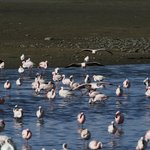 Flamingo in the Walvis Bay Lagoon