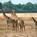 RIver bed giraffe