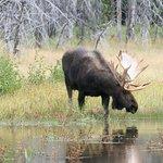 Old Grey Bull Moose bending to drink