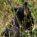 Black Bear eating serviceberries