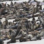 Huge numbers ofseals makeup the Cape Cross seal colony