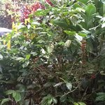 coffee growing outside our window