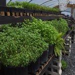 greenhouse growing herbs