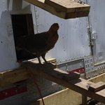 the new hen house