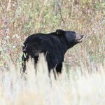 Black Bear looking for berries