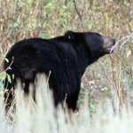 Black Bear along road