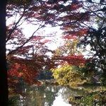 日差しに透ける紅葉  遠目には、とてもきれいです  乾燥し過ぎがよくないんでしょうか