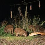 Baby wild boar eating birdfood in our front garden